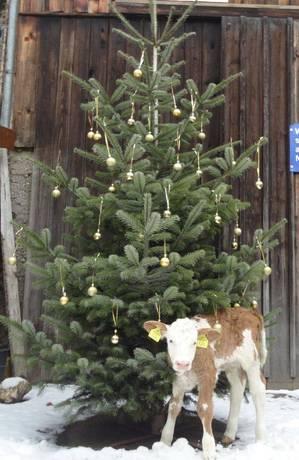 Kälbchen untern Christbaum