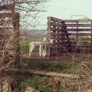 Scotish Sheeps