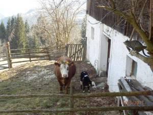 Kuh Elfis Osteraufputz für die Gotenleut