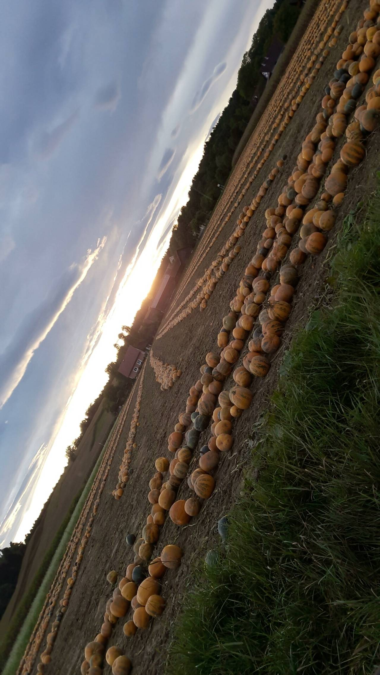 Kürbisse in voller Pracht bei Sonnenuntergang
