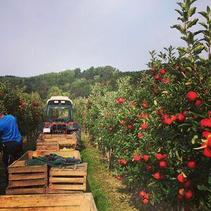 Herbst heißt ... Apfelernte