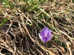 Die ersten Frühlungsboten im Pitztal