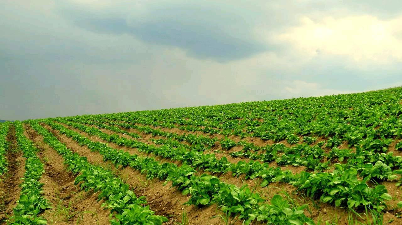 Kartoffeln bis zum Horizont