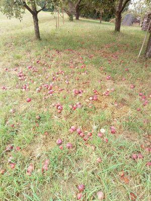 Apfelernten