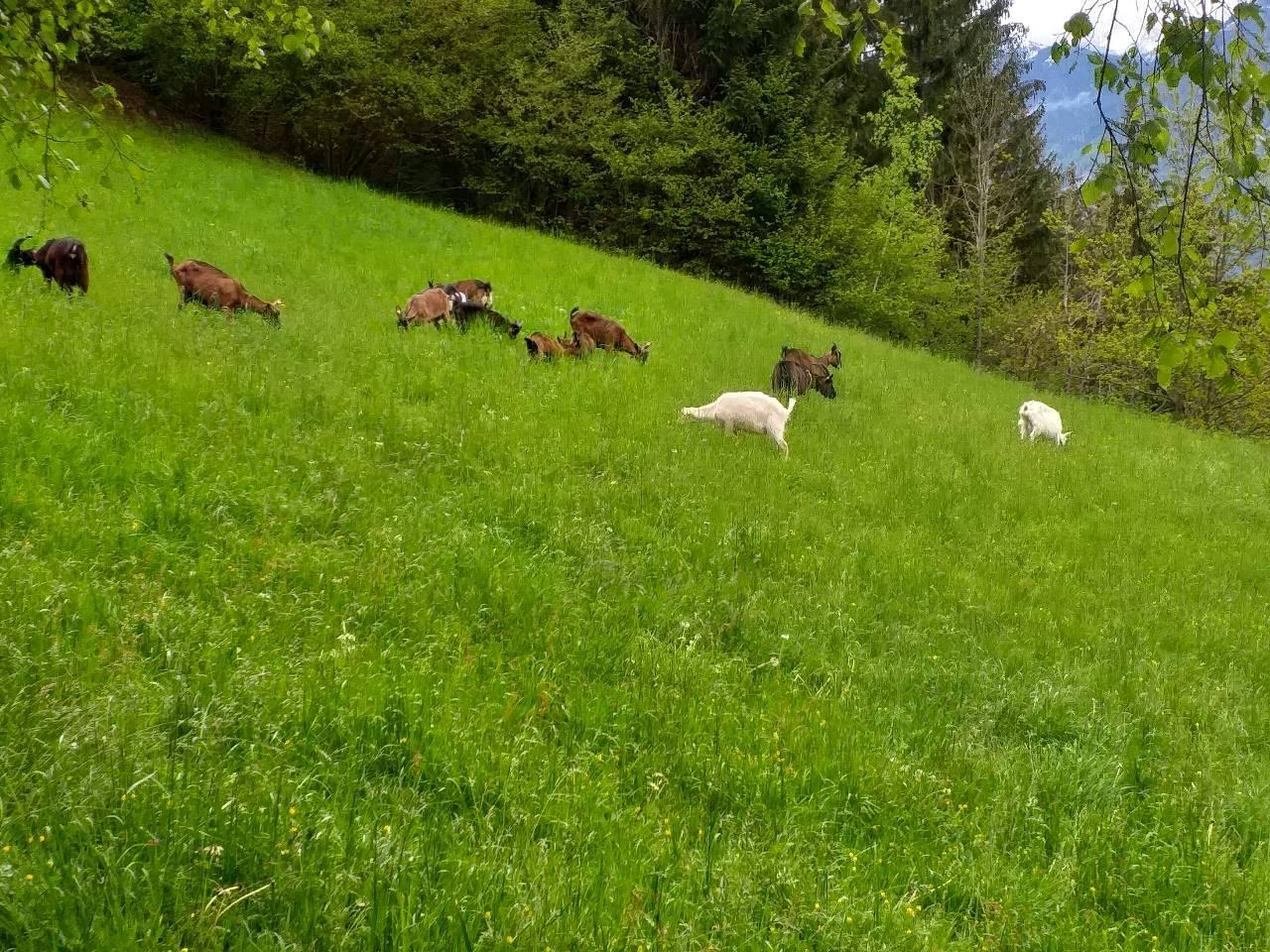 Die Herde beim gemütlichen grasen