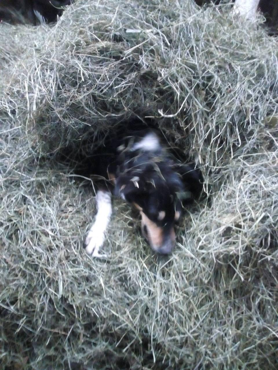 Hund im Heu