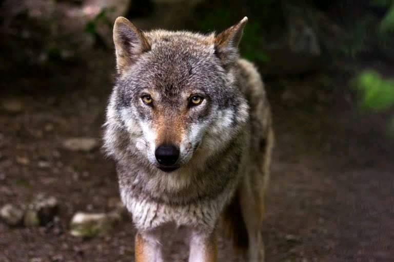 Mein Freund der Wolf!!