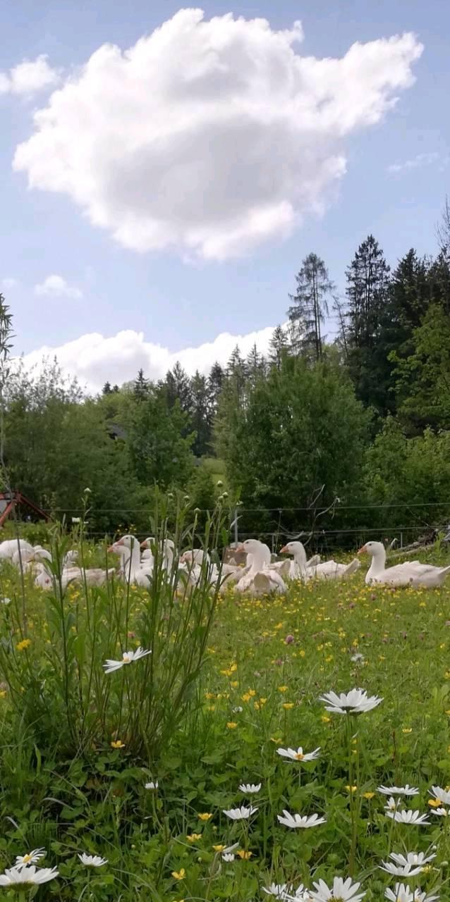 Weidegänse auf Blumenwiese