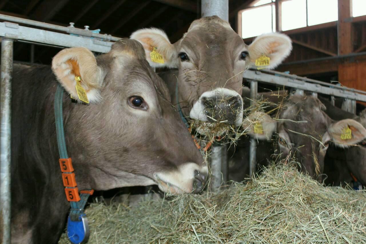 Unsere Kühe beim Essen