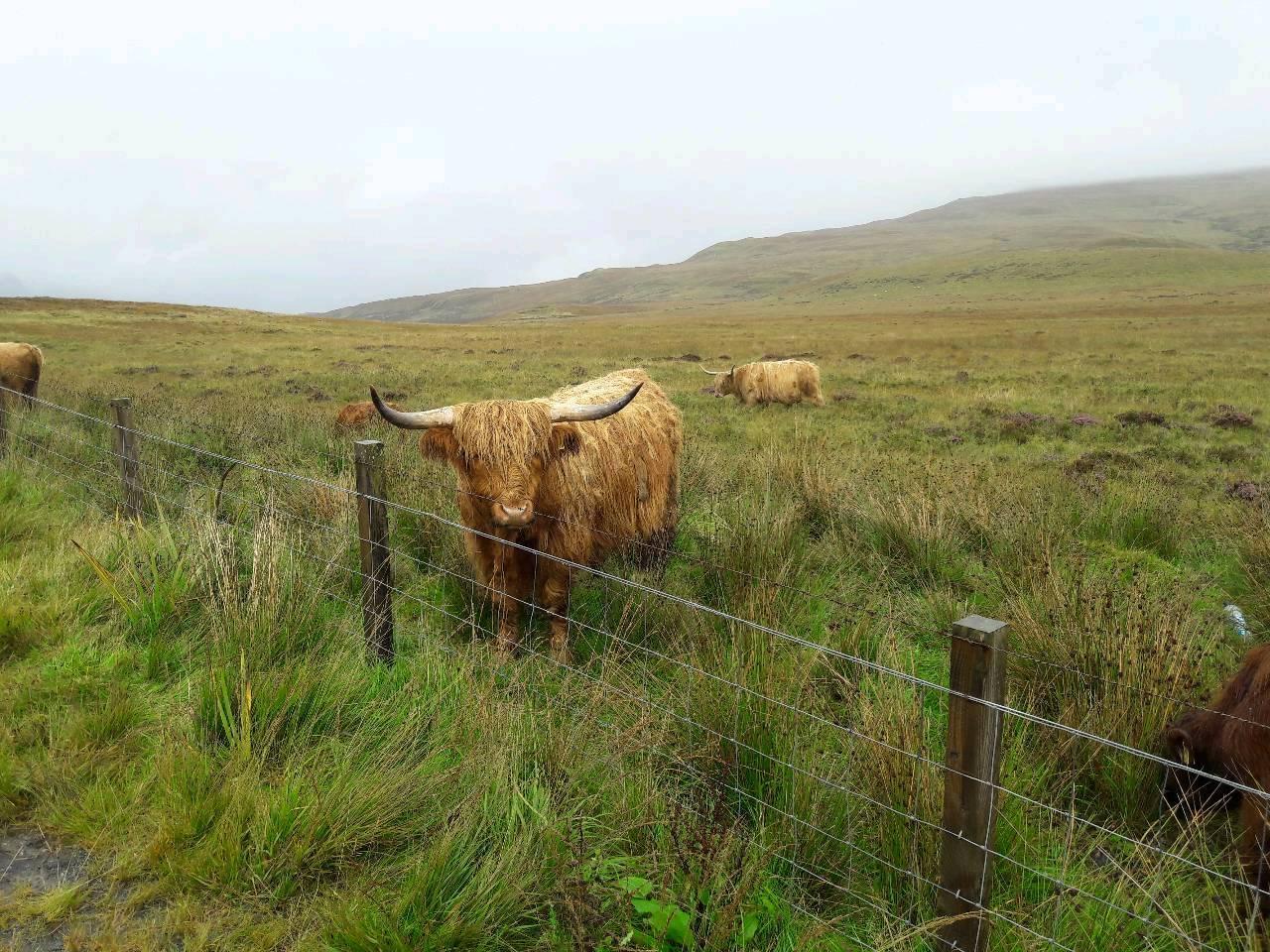 Schottische Highlander Kuh