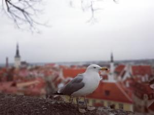 Möwe in Tallinn