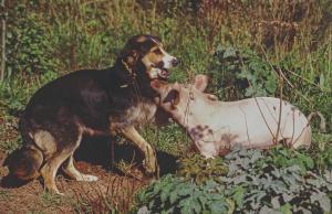 Hausschwein beisst Hund