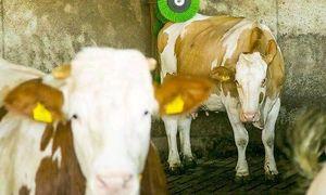 Kühe haben Hunger von Feldkirchen Bauer hat kein Erbarmen???