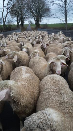 Glückliche Schafe auf dem Weg zur Weide??