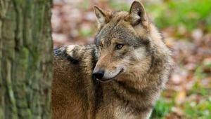 Wolf im Gailtal schönes Tiero.Schaeferhund???