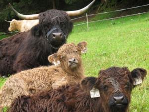 Highlandkuh Lena mit ihren Zwillingen