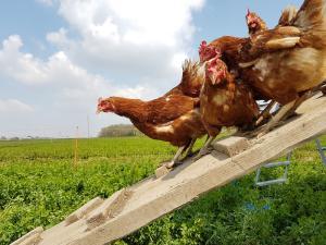 Hühner im frischem Grün