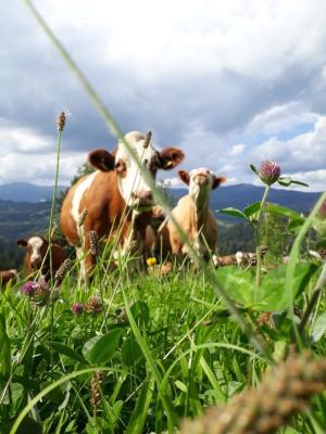 Unsere Rinder...
