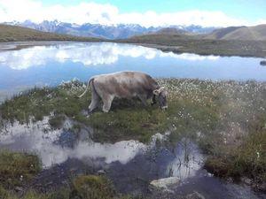 Südtiroler Braunvieh