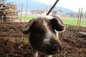Auch Schwein Paulchen genießt die ersten Frühlingstage