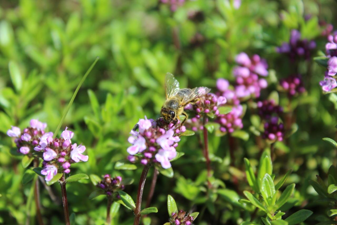 Biene auf Bohnenkraut