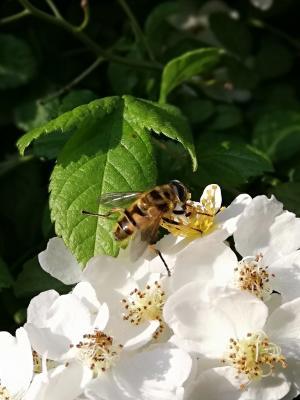 Ich bin keine Biene !