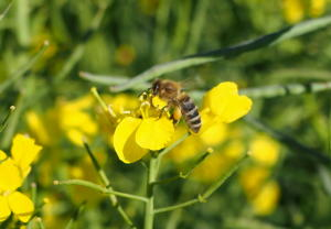 Honigbiene mit Nektarsack im Rapsfeld