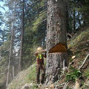 Käferbäume fällen in Kärnten