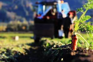 Ernte der Tiroler Bio-Karotten