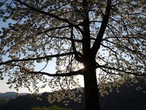 Kirschblüte im Sonnenuntergang